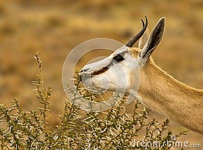 Male springbuck/ springbok grazing
