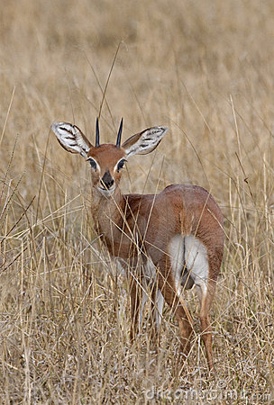 Male Steenbok (Raphicerus campestris)