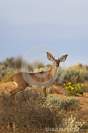 Male Steenbok