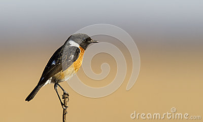 Male Stone chat in nice light