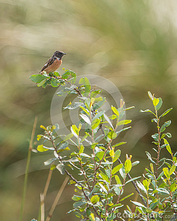 Male Stonechat on bush