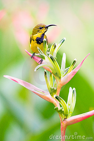 Male Sunbird Atop Helicionia Inflorescence