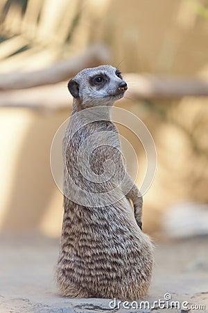 Male suricata