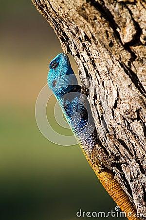 Male tree agama