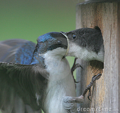 Male Tree Swallow Feeding Baby