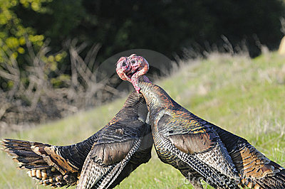 Male turkey fighting