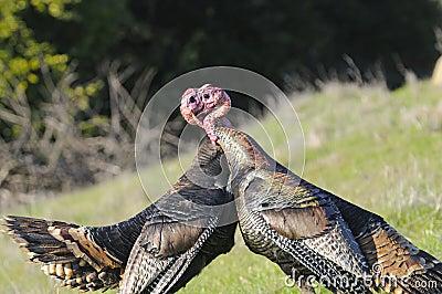 Male turkey fighting