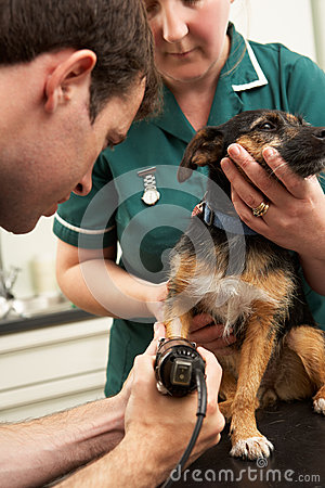 Male Veterinary Surgeon And Nurse Examining Dog