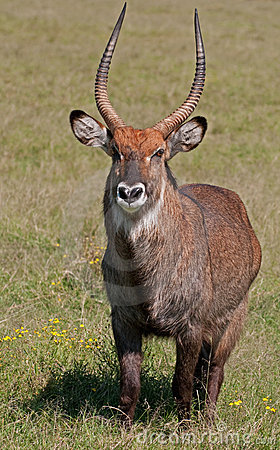 Male Water Buck, Kenya