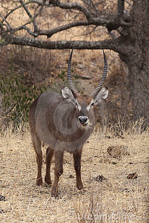 Free Male Waterbuck Royalty Free Stock Photos - 20954778
