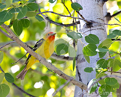 Male Western Tanager Bird In Tree