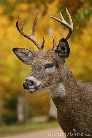 Free Male White Tail Deer Royalty Free Stock Image - 1317436