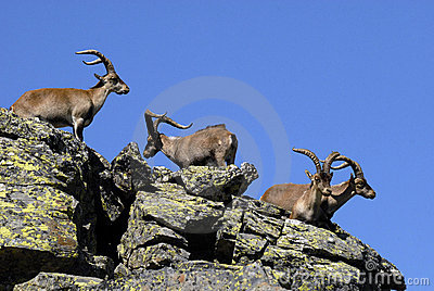 Male wild in the mountains of Gredos