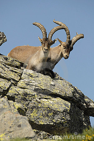 Male wild in the mountains of Gredos, Avila,