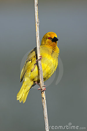 Male yellow weaver, South Africa