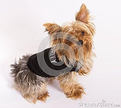 Male Yorkie Dog Pet