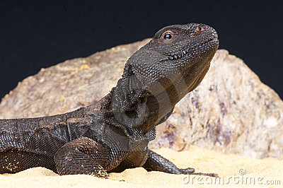 Mali spiny-tailed agama