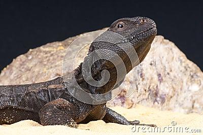 Mali spiny-tailed agama