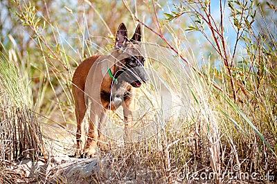 Malinois belgian sheperd puppy