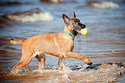 Malinois belgian sheperd puppy with a ball