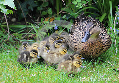 Mallard, anas platyrhynchos, with young ducklings