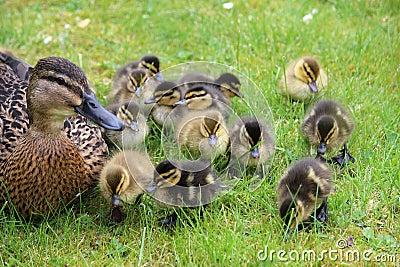 Mallard, anas platyrhynchos, with young ducklings