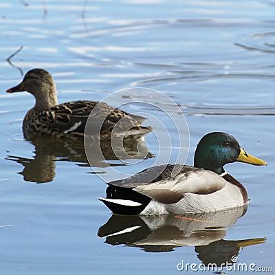 Free Mallard Drake Royalty Free Stock Photography - 37842197