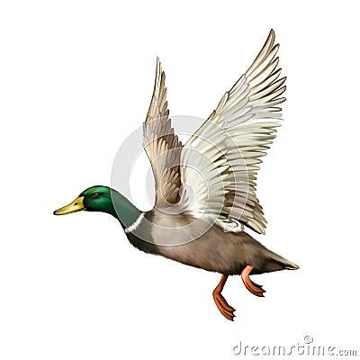 Free Mallard Drake In Flight Stock Photos - 51249143
