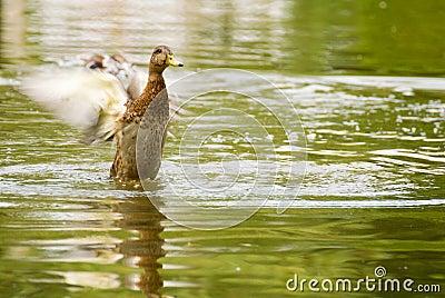 Mallard duck, Anas platyrhynchos