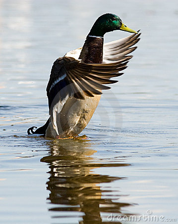 Free Mallard Duck (Anas Platyrhynchus) Royalty Free Stock Images - 8739329