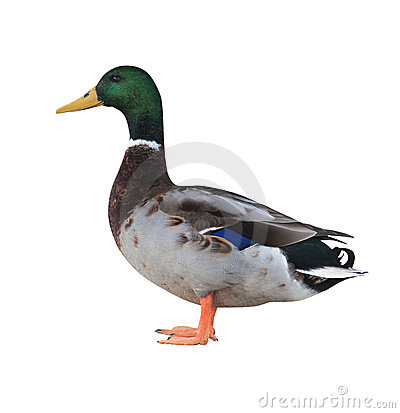 Mallard Duck with Clipping Path