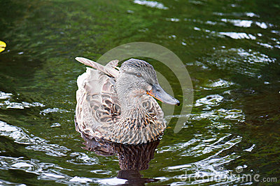 Mallard duck on green waters