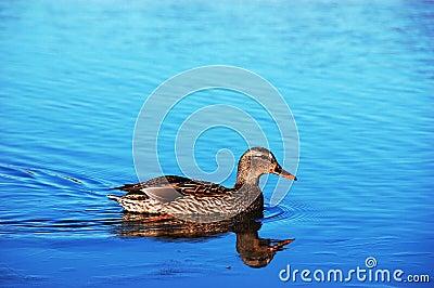 Mallard Duck Hen on Lake