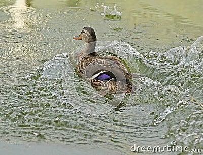 Mallard Duck jumping into water