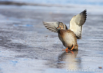 Mallard duck landing on the ice