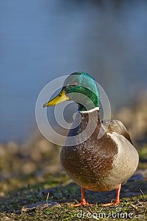 Free Mallard Duck Male Stock Photo - 13029340