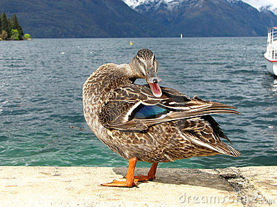 Mallard duck quacking