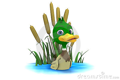 mallard duck sitting in pond royalty free stock images