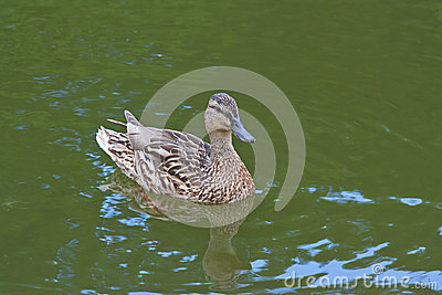 Mallard duck swimming in the pond