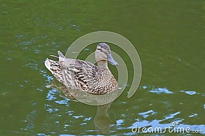Mallard duck swimming in the pond