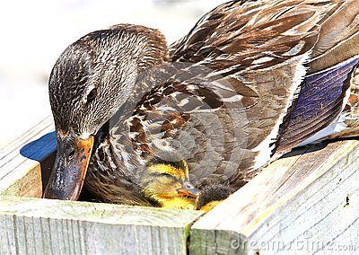 Mallard with Ducklings