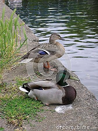 Free Mallard Ducks Stock Image - 137071
