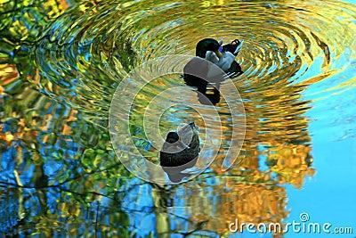 Mallard Ducks.
