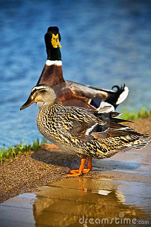 Free Mallard Ducks Female And Male Stock Images - 8762324