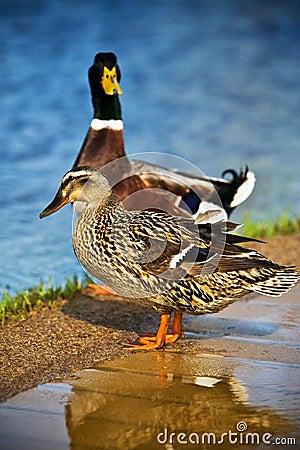 Mallard Ducks Female and Male