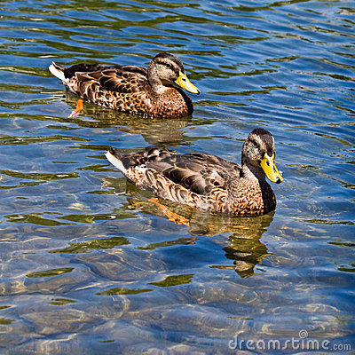 Free Mallard Ducks Swimming Stock Images - 5790984