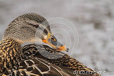 Mallard Hen Duck Side Profile