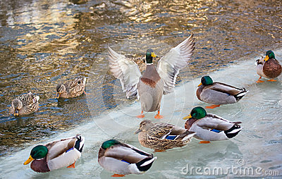 Mallard on ice spreads wings
