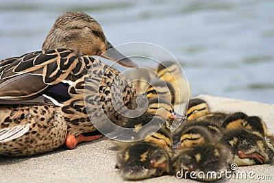 Mallard Mom and Babies