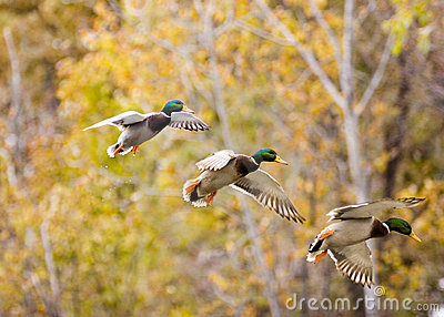 Mallard in sequence